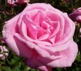 Pink Rose © David Wendel Robinson, AKA Lightweaver