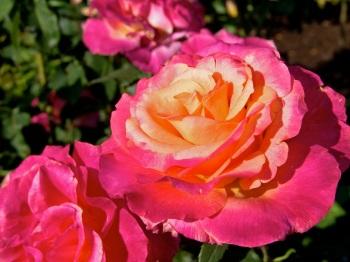 Flower-pink-yellow