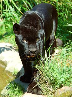 pantera-negra1