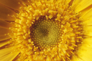 sunflower close up bxp32190h